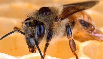bee-with-varroa-mite