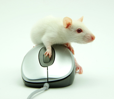 rat on computer mouse